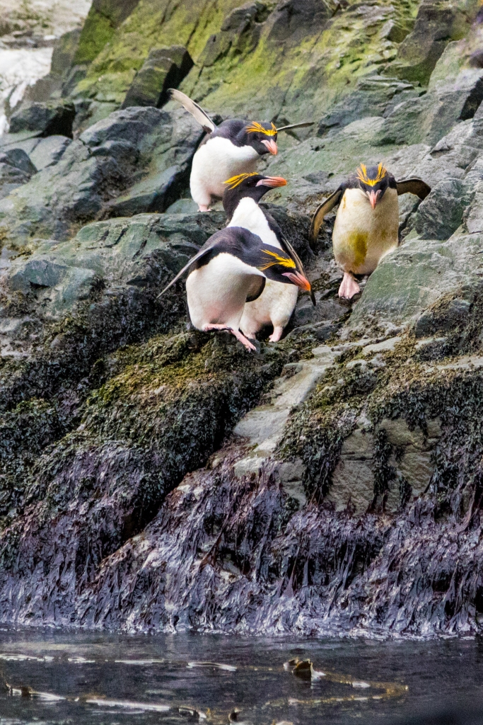 Macaroni Penguins descending to water on mossy rocks