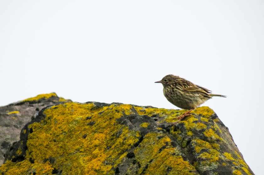 Small bird (Pipit) on rock
