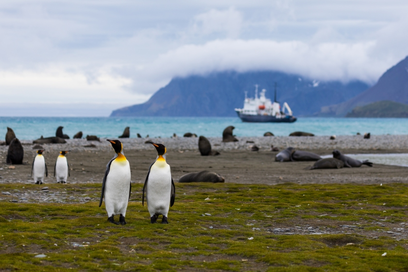 King penguins in front of a rocky shore covered by seals, with ship anchored in the background